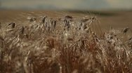 Stock Video Footage of Grain - barley waving in the wind 5