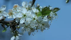 Sloe Flowers 14 Stock Footage