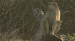 Male adult Savannah Baboon sitting on tree stump in Niassa Reserve, Mozambique. Stock Footage