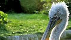 Pelican Head Stock Footage