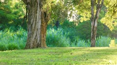Green lawn in city park under old trees - stock footage