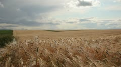 Grain - barley waving in the wind 3 - stock footage