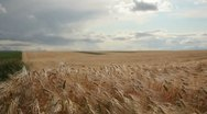 Stock Video Footage of Grain - barley waving in the wind 3