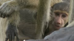 Female adult Savannah Baboon protecting infant in Niassa Reserve, Mozambique. Stock Footage