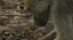 Female adult Savannah Baboon foraging in Niassa Reserve, Mozambique. - stock footage