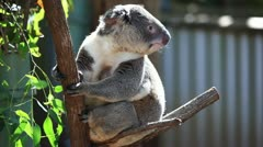 Cute koala in its natural habitat of gumtrees - stock footage