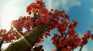 Stock Video Footage of Cherry tree (with pink flower)