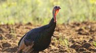Stock Video Footage of Wild Turkey Cluck