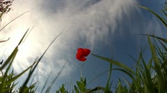 Red poppy on sky background Stock Footage