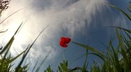 Stock Video Footage of Red poppy on sky background