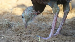 Wild Turkey Hen Stock Footage