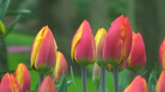 Tulipa flair Stock Footage