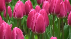 Tulipa rosy delight Stock Footage