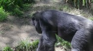 Stock Video Footage of chimpanzee1