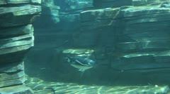 Penguin swim in the water Stock Footage