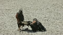 Fight between 2 falcons Stock Footage