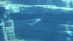 Penguin wim in the water 03 Stock Footage