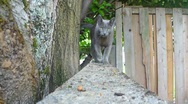 Stock Video Footage of Russian Blue Cat