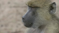 Adult and infant Savannah Baboons in Niassa Reserve, Mozambique. Stock Footage