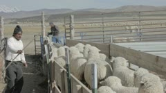 Sheep herders sorting sheep for shearing P HD 9558 Stock Footage