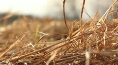 Old grass and reed in windy sunset Stock Footage