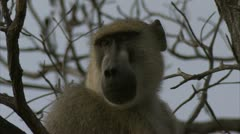 Adult Savannah Baboon sitting in tree in Niassa Reserve, Mozambique. Stock Footage