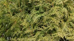Cedar hedge trim with shears Stock Footage
