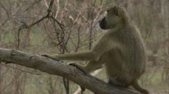 Adult Savannah Baboon sitting on tree stump in Niassa Reserve, Mozambique. Stock Footage
