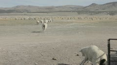 Sheep running out of chute into pasteur P HD 9559 - stock footage