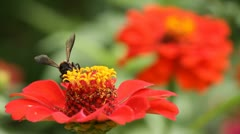 bee collects nectar on red flower - stock footage