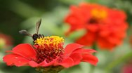 Stock Video Footage of bee collects nectar on red flower