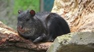 Stock Video Footage of Common Agouti Rodent Species Lounging in the Sun