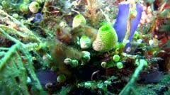 Orang-utan crab (Achaeus japonicus) Stock Footage
