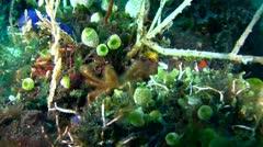 Orang-utan crab (Achaeus japonicus) walking Stock Footage