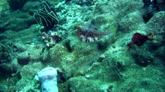 Thorny-back cowfish (Lactoria fornasini) Stock Footage