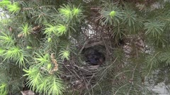 Amid Nature - Female Mother Cardinal Feeds Baby Birds and Cleans Nest - stock footage
