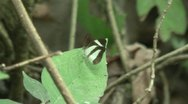HD brown green butterfly in Ecuador  Stock Footage