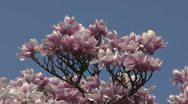 Magnolia Stock Footage