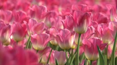 Tulips Pink (close-up) Stock Footage