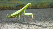 Stock Video Footage of Praying Mantis Fly Away