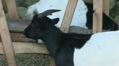 Domestic goat Stock Footage