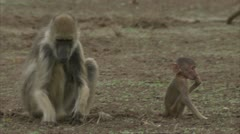 Female adult and infant Savannah Baboons foraging in Niassa Reserve, Mozambique. Stock Footage
