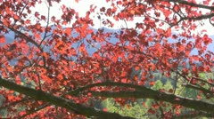 Maple tree Stock Footage