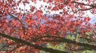 Maple tree Stock Footage