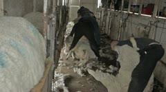 Shearing sheep in long shed P HD 9644 Stock Footage