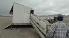 Sheep entering shearing shed ramp P HD 9614 Stock Footage