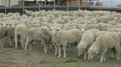 Sheep heavy wool in corral waiting for shearing P HD 9583 Stock Footage