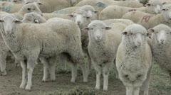Sheep herd watching view P HD 9584 Stock Footage