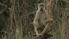 Male adult Savannah Baboon on tree stump in Niassa Reserve, Mozambique. Stock Footage