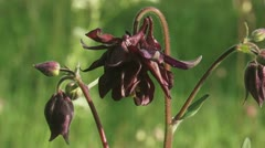 Columbine flowers blooming 01i Stock Footage